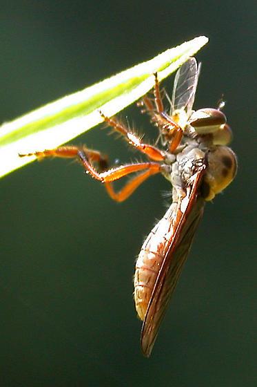 Fly Spp. - Holcocephala