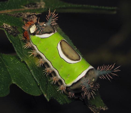 Larva - Acharia stimulea