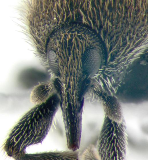 Curculionidae, frontal - Rhinusa antirrhini