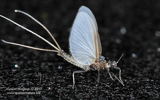 Ephemeroptera - Tricorythodes