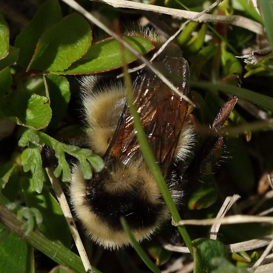 Lovelandy bee - Bombus kirbiellus - female