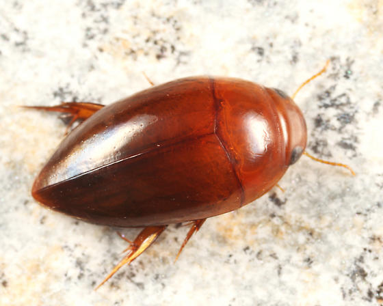 Dytiscid - Hydrocanthus iricolor