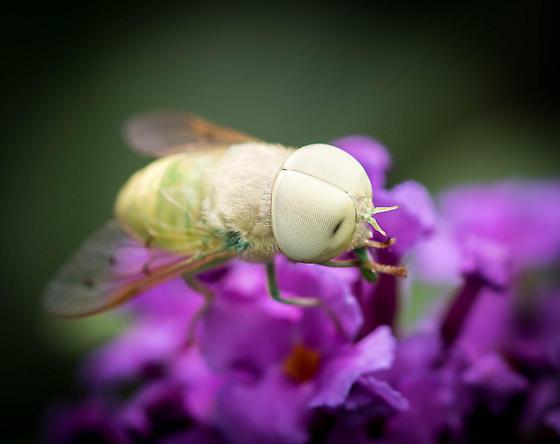 Green Horse Fly - Chlorotabanus crepuscularis - male