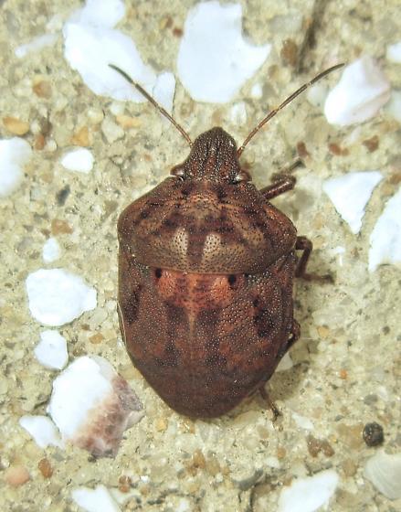 Shieldbacked Pine Seed Bug (Tetyra bipunctata) - Tetyra bipunctata