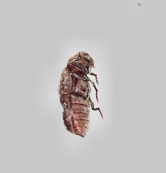 Deathwatch Beetle - Xestobium