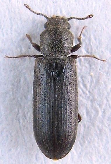 Powder-post Beetle? - Lyctus carbonarius