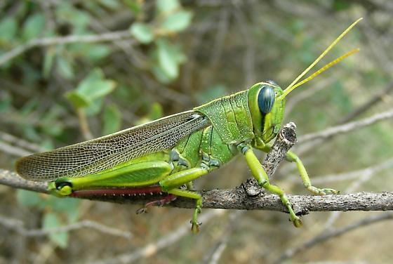 Which Green w Yellow antenna Grasshopper ? - Schistocerca lineata - male