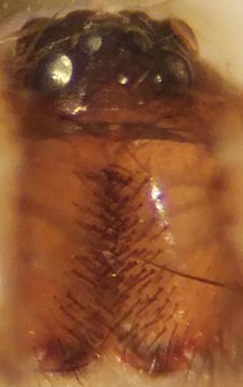 Ground spider - Trachyzelotes lyonneti