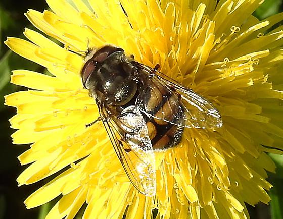 Bombyliidae sp. - Copestylum avidum - male