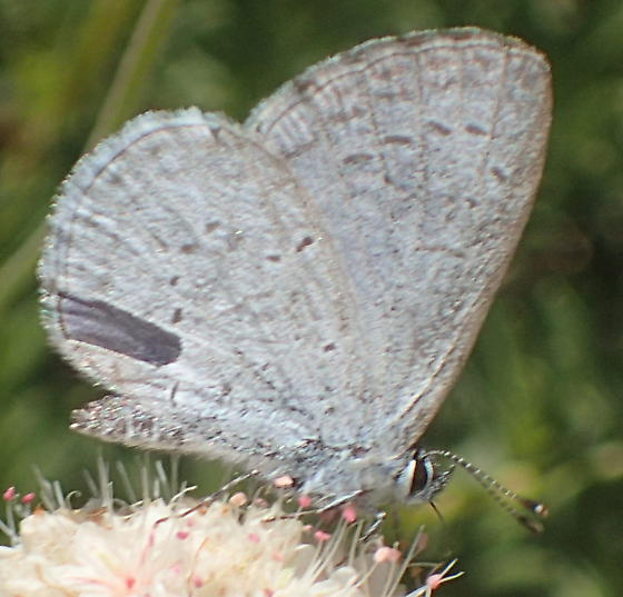 Unknown butterfly - Celastrina echo
