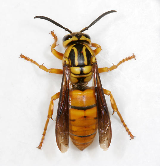 Southern Yellowjacket Queen - Vespula squamosa - female