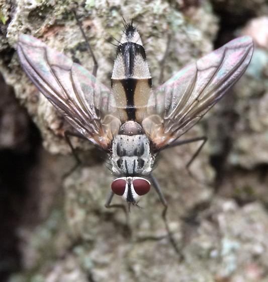 Tachinid - Zelia vertebrata - male