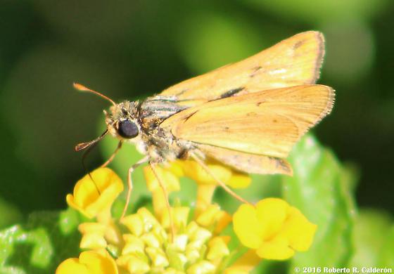 Orange Skipper - ID? - Hylephila phyleus