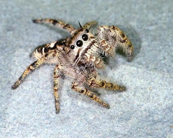 Bug - Phidippus carolinensis - male