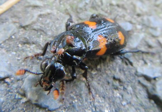 Burying beetle with mite passenger - Nicrophorus orbicollis