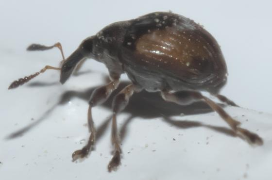 Small black and brown weevil - Nanodactylus obesulus