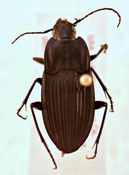 Dicaelus furvus carinatus? - Dicaelus furvus