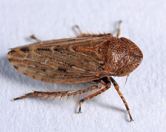 leafhopper - Stroggylocephalus mixtus