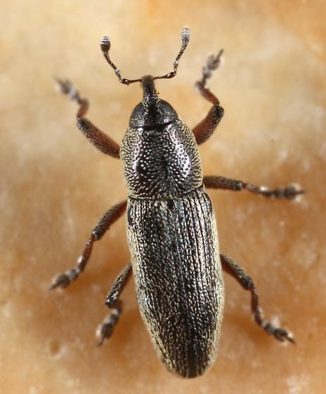 Weevil - Barilepton undescribed