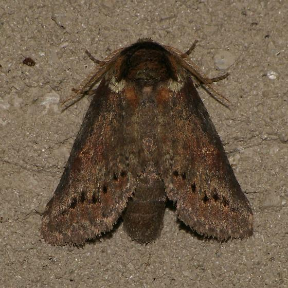 Heterocampa ? Moth - Heterocampa biundata - male