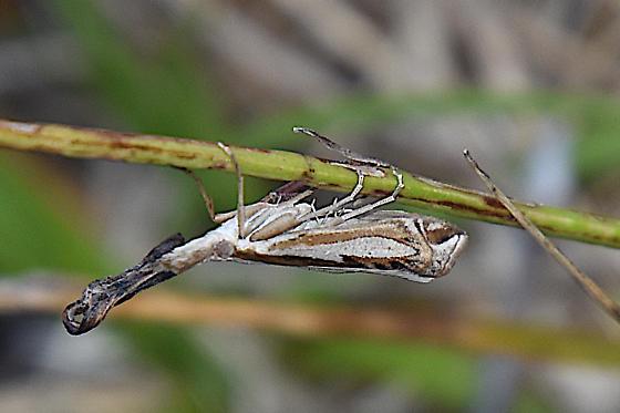 Grass-Veneer species - Crambus