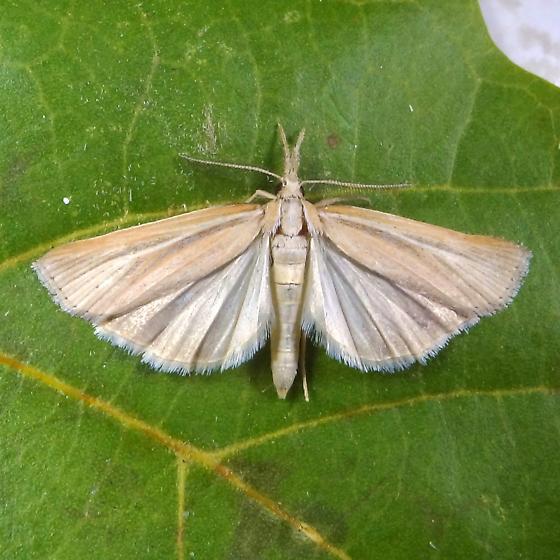 ID Request - Thaumatopsis pexellus - male