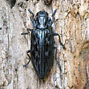Western scultured pine borer - Chalcophora angulicollis