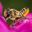 Megachile centuncularis - female