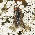 Another Tachinidae? - Wohlfahrtia vigil