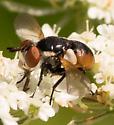 Small Fly - Gymnosoma