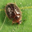 beetle - Thymalus marginicollis