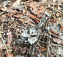 Camo - Gonatista grisea - female