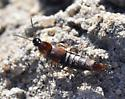 Small Rove Beetle
