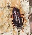 Cockroach for ID - Parcoblatta uhleriana
