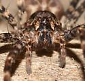 Spider - Dolomedes tenebrosus - female