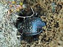 Large spotted ground beetle - Calosoma calidum