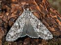 Unknown Moth - Eurois occulta