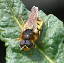 Is this a Soldier Fly? - Stratiomys maculosa - male