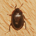 Unknown Beetle - Necrophilus hydrophiloides