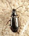 Carabid - Syntomus americanus