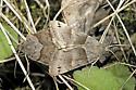 Clover Looper - Hodges#8738 - Caenurgina crassiuscula - male - female