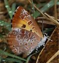 Harvester - Feniseca tarquinius - From near its western range limit in central Kansas - Feniseca tarquinius