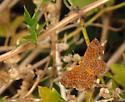 metalmark - Calephelis rawsoni - male