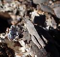 grasshopper - Chortophaga viridifasciata