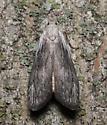 Pyralidae, Terrenella Bee Moth, dorsal - Aphomia terrenella