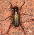 Dichelonyx sp. - Dichelonyx