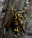 8/14/2020 moth - Synanthedon arkansasensis