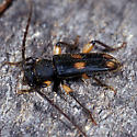 Longhorn Beetle - Tylonotus bimaculatus