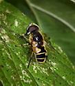 Syrphid Fly - Eristalis hirta - male