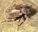 hairy beetle - Glyptoscelis pubescens
